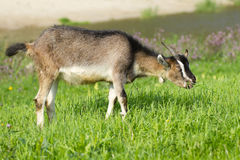 Goat pasture. Young goat pasture on a green grass Stock Images