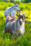 Goat in the pasture Royalty Free Stock Photography
