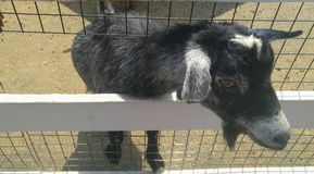 Goat peaking it`s head through the fence. On farm in the country Royalty Free Stock Images