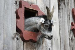 Goat peek-a-boo. Gray and black goat peeking out of the window of a wooden shed Royalty Free Stock Photo
