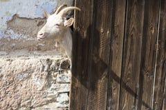 Goat peeking behind wooden door royalty free stock photo