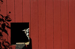Goat Peeking Out of Barn Door. A miniature goat peeks its head out of the door in the side of a deep red-brown barn royalty free stock photo