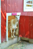 Goat peeking out farm door Royalty Free Stock Photography