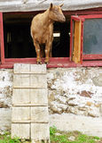 Goat peering out from inside a barn Royalty Free Stock Photos