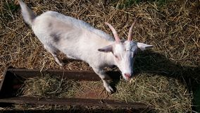 Goat in a pen Stock Images