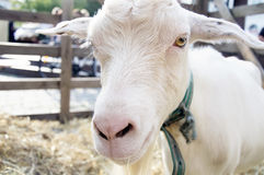 Goat in a pen Royalty Free Stock Photo