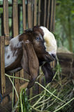 Goat in pen. A long-eared goat in its pen in Bali, Indonesia Stock Photos