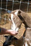 Goat Petting Zoo. Man feeding a goat at a petting zoo / farm. Goat is reaching through the fence for the food offered Royalty Free Stock Images