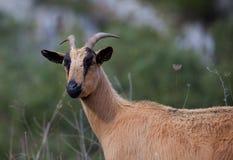 Goat, Picos de Europa Stock Photography