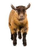 The Goat. Picture of a pygmy goat on a white seamless background Royalty Free Stock Images