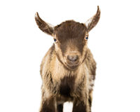 The Goat. Picture of a pygmy goat on a white seamless background stock image