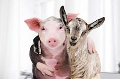 Goat and a pig embracing each other. Portrait of a goat and a pig embracing each other stock photos