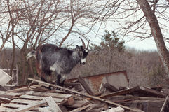 Goat on a pile of boards Stock Photos