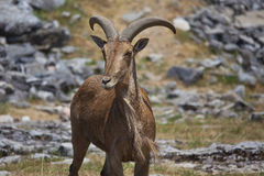 Goat on the Plain Royalty Free Stock Photography