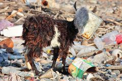 Goat with plastic bag on head Royalty Free Stock Images