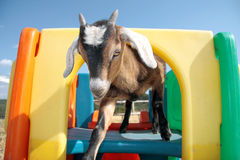 Goat on Play Structure. Cute, young kinder goat playing on a child's play structure Stock Image