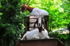 Goat Playground - Brown and White Goats wtih Horns. Two brown and white goats with horns sitting on top of playhouse at a North Georgia mountain farm with royalty free stock images