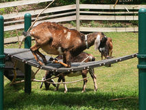 Goat playground Royalty Free Stock Photos
