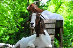 Goat Playground - Two Brown and White Goats Resting. Two brown and white goats with horns sitting on top of playhouse at a North Georgia mountain farm with royalty free stock images