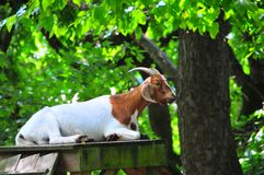 Goat Playground - White and Brown Goat with Horns. Lone white and brown goat with horns sitting on top of playhouse at a North Georgia mountain farm with petting stock photo