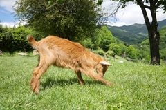 Goat playing in Asturias Royalty Free Stock Photos