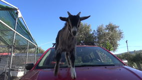 Goat Plays on a Car (2) stock video