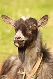 He-goat. Portait in the countryside royalty free stock photography