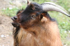 Goat Portrait. Profile of a friendly goat on a farm Royalty Free Stock Images