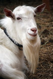 Goat portrait Stock Photo
