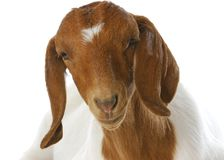 Goat portrait Royalty Free Stock Image