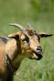 Goat portrait Stock Image