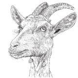 Goat - a portrait Stock Image
