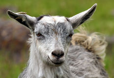 Goat portrait Royalty Free Stock Photo