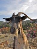 Goat portrait Stock Image