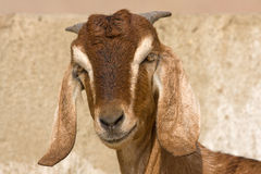 Goat portrait Royalty Free Stock Photography