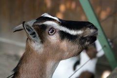 Goat portrait Royalty Free Stock Photo