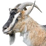 Goat portrait close up. Beautiful, cute, young brown goat on white background. Farm animals. Funny goat head with long horns isolated on white royalty free stock image
