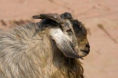 Goat portrait Stock Photos