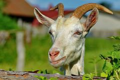 A goat. Portrait, closeup. Smile for the photographer. The goat is one of the first domesticated animals. Domesticated in the Middle East, about 9 thousand stock photos