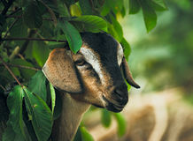Goat. Portrait of a cute goat near a tree Royalty Free Stock Photos