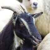 Goat portrait 2 Royalty Free Stock Photography