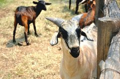 A Goat portrait in  farm. A female Goat portrait in  farm Stock Image