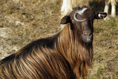 Goat. A portrait of female goat on the meadow Stock Photos