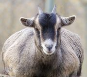 Goat portrait frontal Royalty Free Stock Photo