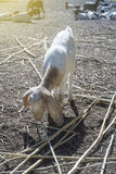Goat portrait, goat eating a dry grass,filtered image,selective focus,light effect added.  royalty free stock photos