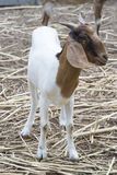 Goat portrait, goat standing, smile of goat Royalty Free Stock Photography