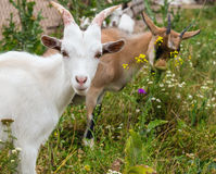 Goat portrait. Stock Photography