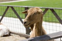 Goat portrait. Light brown goat portrait, on a romanian farm Stock Image