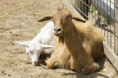 Goat portrait. Light brown goat portrait with white kid, on a romanian farm Stock Images