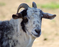 Goat Portrait Royalty Free Stock Images